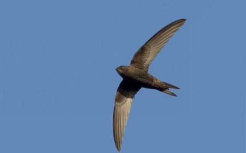 Gierzwaluw - Foto: Jaap Denee