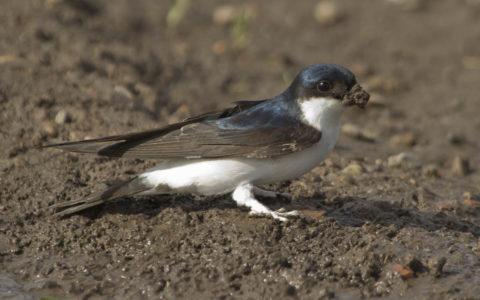 Huiszwaluw - Foto: Benno van den Hoek