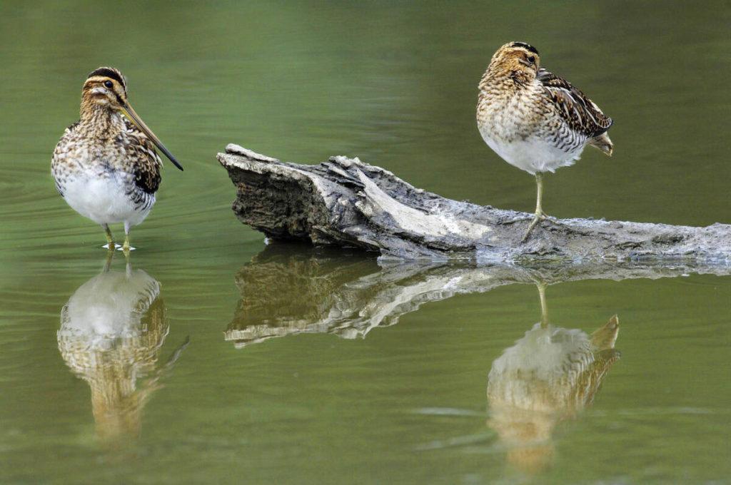 Watersnippen - Foto: Wim Weenink
