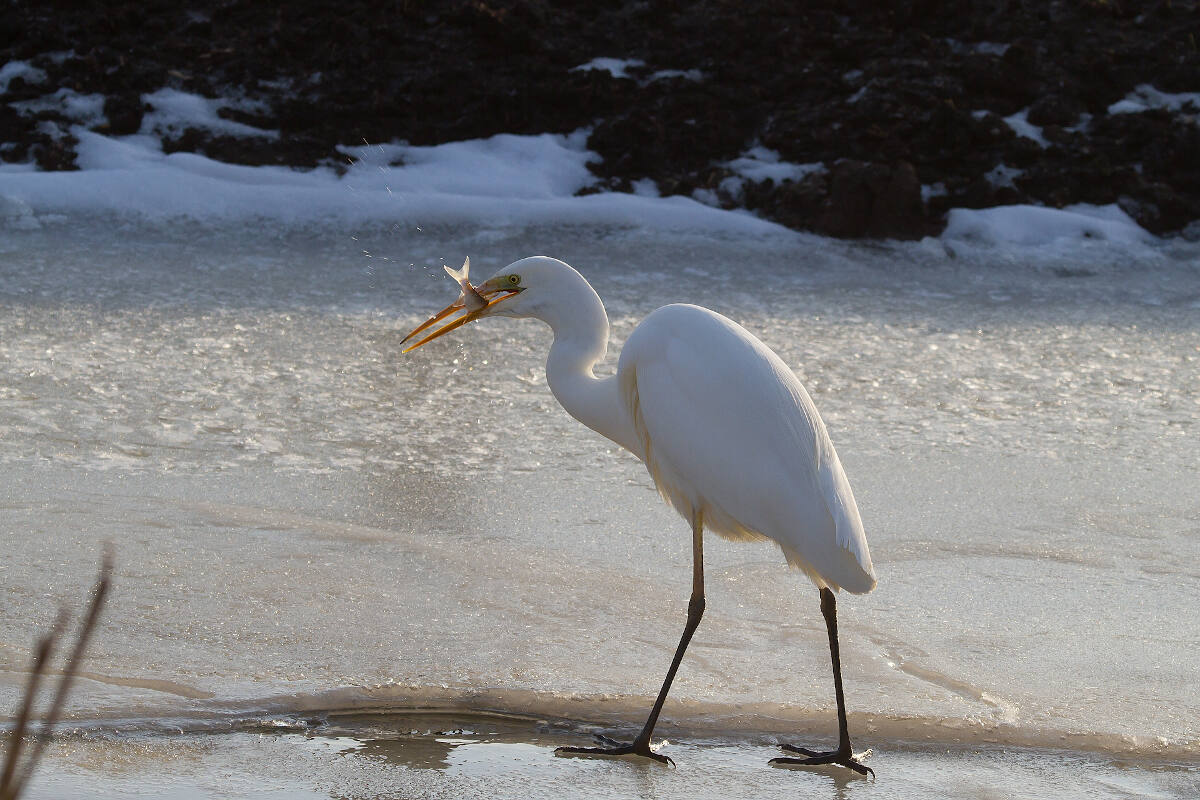 Wintervogelexcursie in Flevoland en langs de randmeren